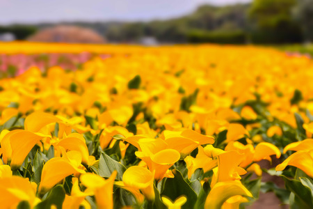 Photo picture of Calla flower colored garden field cultivation