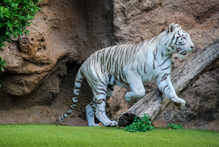 tiger in zoo, beautiful photo digital picture 版權商用圖片 - 122303690