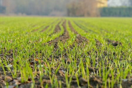 green field of corn, beautiful photo digital picture