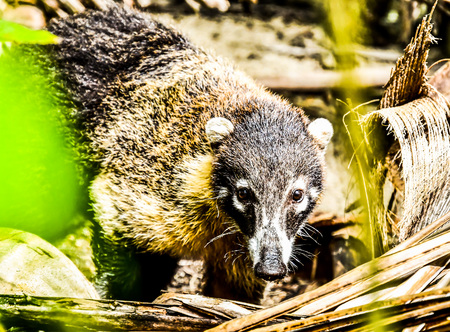 raccoon in forest.