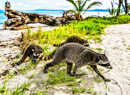 mongoose on a rock Foto de archivo