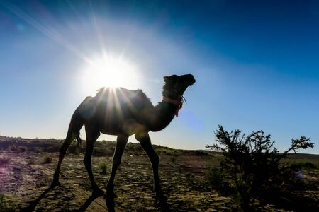 camel in desert, beautiful photo digital picture
