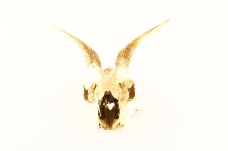 Close-up of Object goat skull on a White Background Banco de Imagens