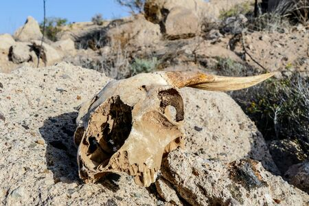 Photo Picture of the Dry Goat Skull Bone Imagens