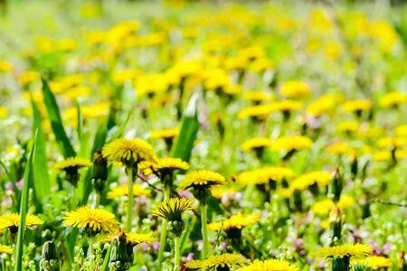 field of dandelions, beautiful photo digital picture