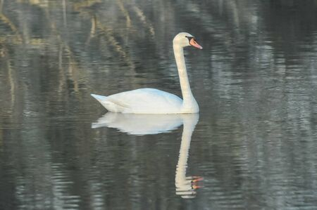 Noble White Swan in the Water Surface Imagens