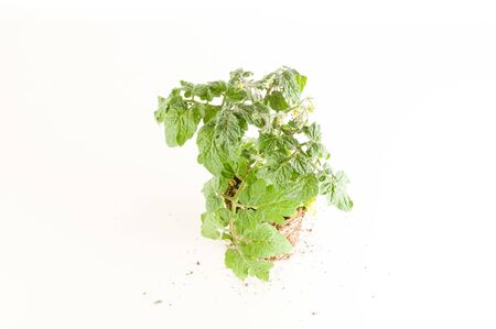 Strawberry plant with roots and soil on white background