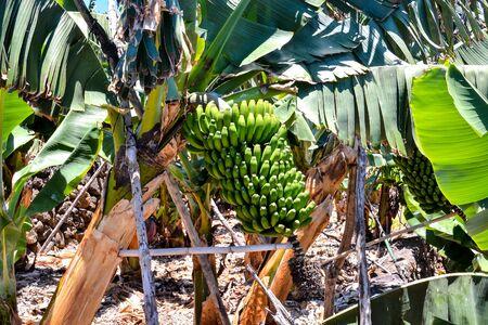 Banana Plantation Field in the Canary Islands 版權商用圖片