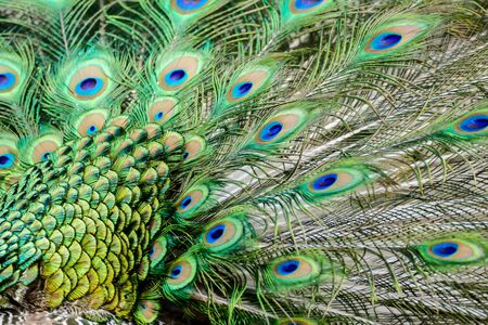 peacock with feathers, beautiful photo digital picture Stok Fotoğraf