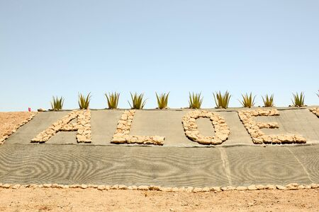 Medicinal Aloe Vera Plant in the Canary Islands