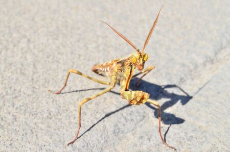 Brown Colored Adult Smart Insect Mantis Religiosa