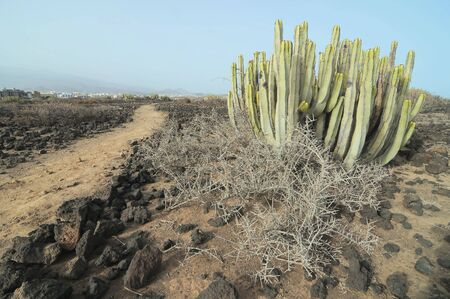 Succulent Cactus Plant In the Desert, in Canary Islands, Spain
