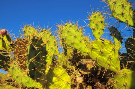 Green Prickly Pear Cactus Leaf in the Desert