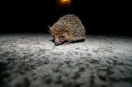 West European Hedgehog Wild Mammal (Erinaceus Europaeus)