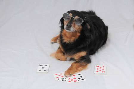 One Smart Old Black Dog Playing Poker On a White Background