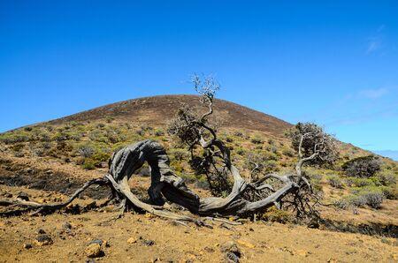 Gnarled Juniper Tree Shaped By The Wind at El Sabinar, Island of El Hierro Stock Photo