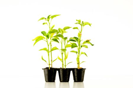 Young tomato plant on a white background Stock Photo