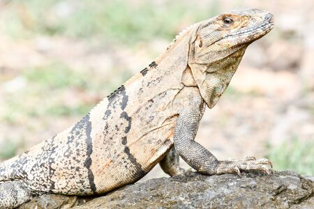 green iguana on the rock, photo as a background, digital image