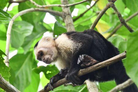 monkey in Arenal Volcano area in costa rica central america