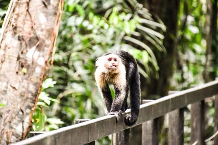 monkey in Cahuita area in costa rica central america