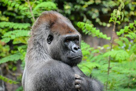 Imagen de un gorila negro adulto fuerte