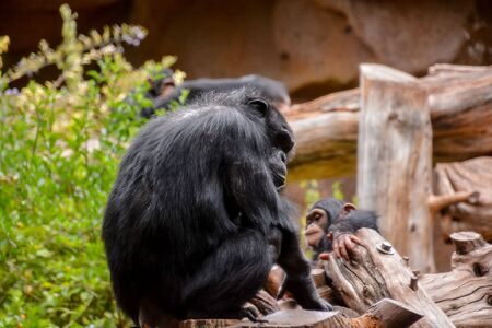 Wild Black Chimpanzee Mammal Ape Monkey Animal Stockfoto