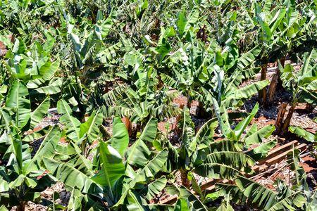 Banana Plantation Field in the Canary Islands Stockfoto