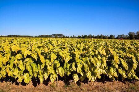 Photo Picture of a Big Beautiful Tobacco Field Stockfoto