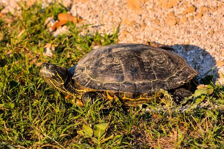 Photo Picture of Red Eared Terrapin Trachemys Scripta Elegans Tortoise