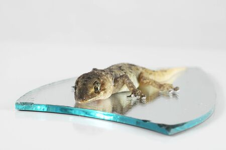 One Small Gecko Lizard and Mirror on a White Background