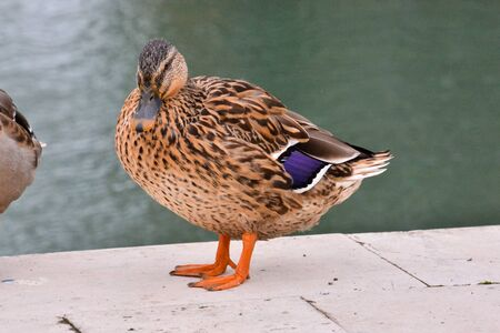 Photo Picture of a Beautiful Water Bird Duck