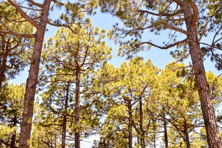 Picture Photo of Green High Pine Tree View
