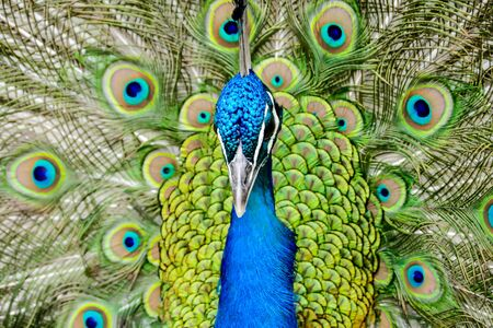 peacock with feathers, beautiful photo digital picture Фото со стока