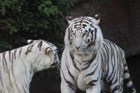 Rare Black and White Striped Adult Tiger Foto de archivo