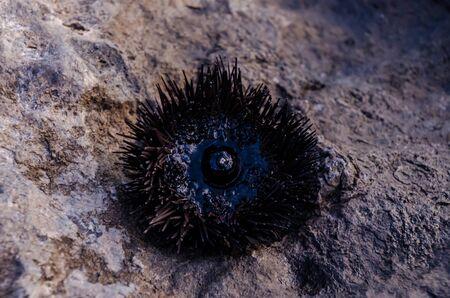 Sea Urchin on Rock Near Ocean Background