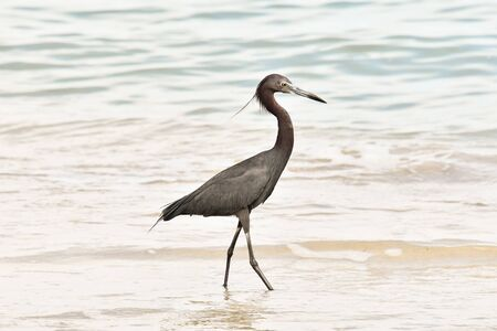 great blue heron on beach, photo as a background, digital image Stockfoto