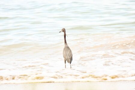 great blue heron in water, photo as a background, digital image Banco de Imagens