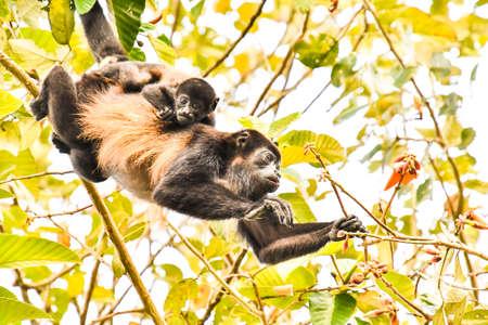capuchin monkey primate and baby son, in Arenal Volcano area costa rica central america