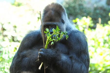 Strong Adult Black Gorilla on the Green Floor