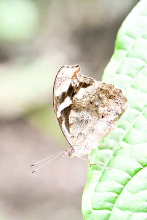 butterfly on leaf, in Arenal Volcano area in costa rica central america, butterfly background