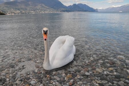 Noble White Swan in the Water Surface Archivio Fotografico