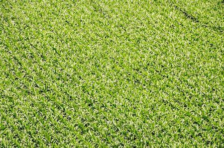 European OGM Growing Green Corn Field Texture Background