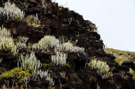 Cactus on the Basaltic Volcanic Mountain