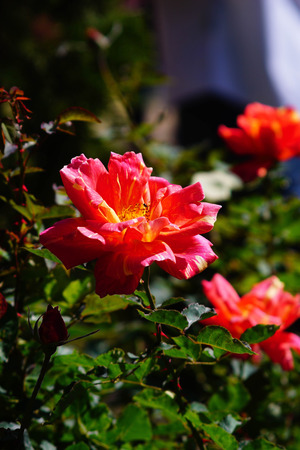 orange rose: orange rose with bee