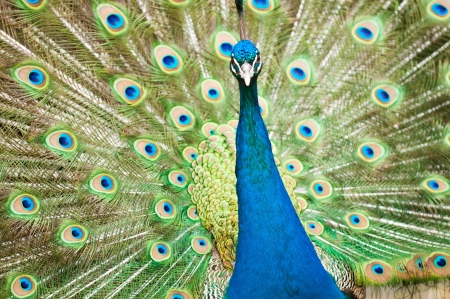 Vibrant and colorful Peacock Portrait Stock Photo - 14968544