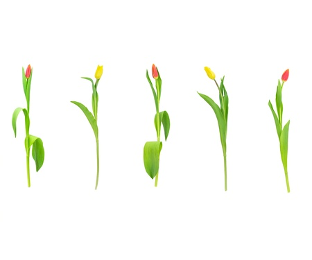 red and yellow tulips isolated on white background photo