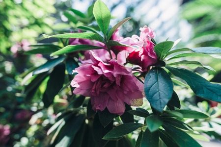 Blooming pink flowers, tropical plants. Nature, background.