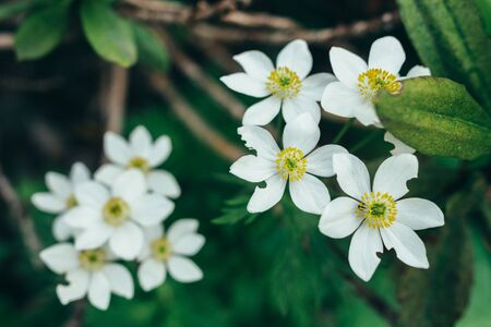 Blooming white flowers in the forest tropical foliage nature background.