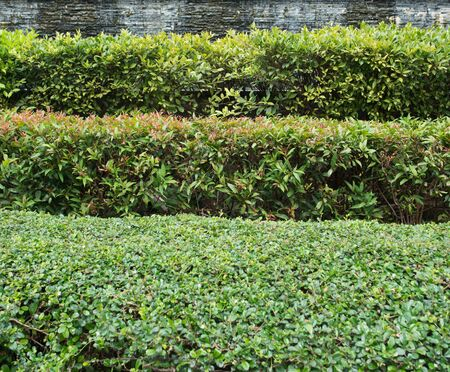 Straight trimmed bushes, green fence. Landscape design. Several rows of clipped bush natural texture