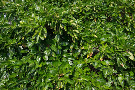 Thick green foliage of bushes. Natural background